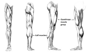 Anatomy_Study___leg_muscules_by_Call0ps